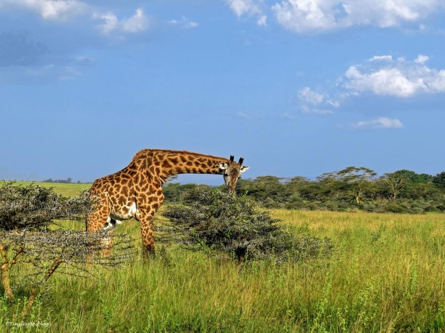 giraffe on savannah 2 ud48