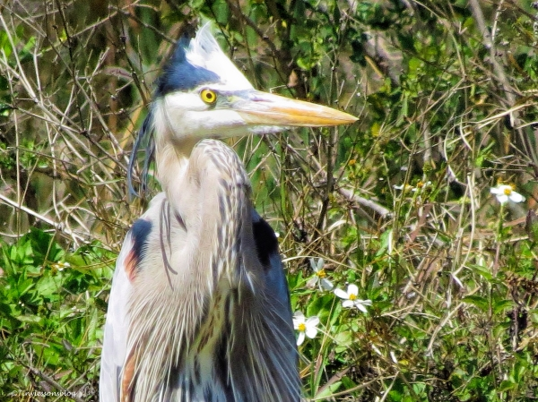 great blue heron follows the drama ud49