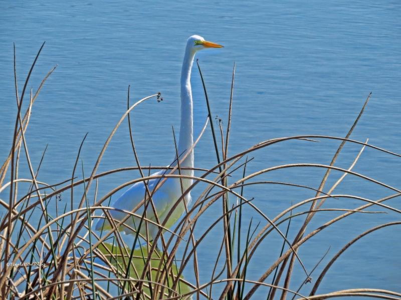 great egret ud49