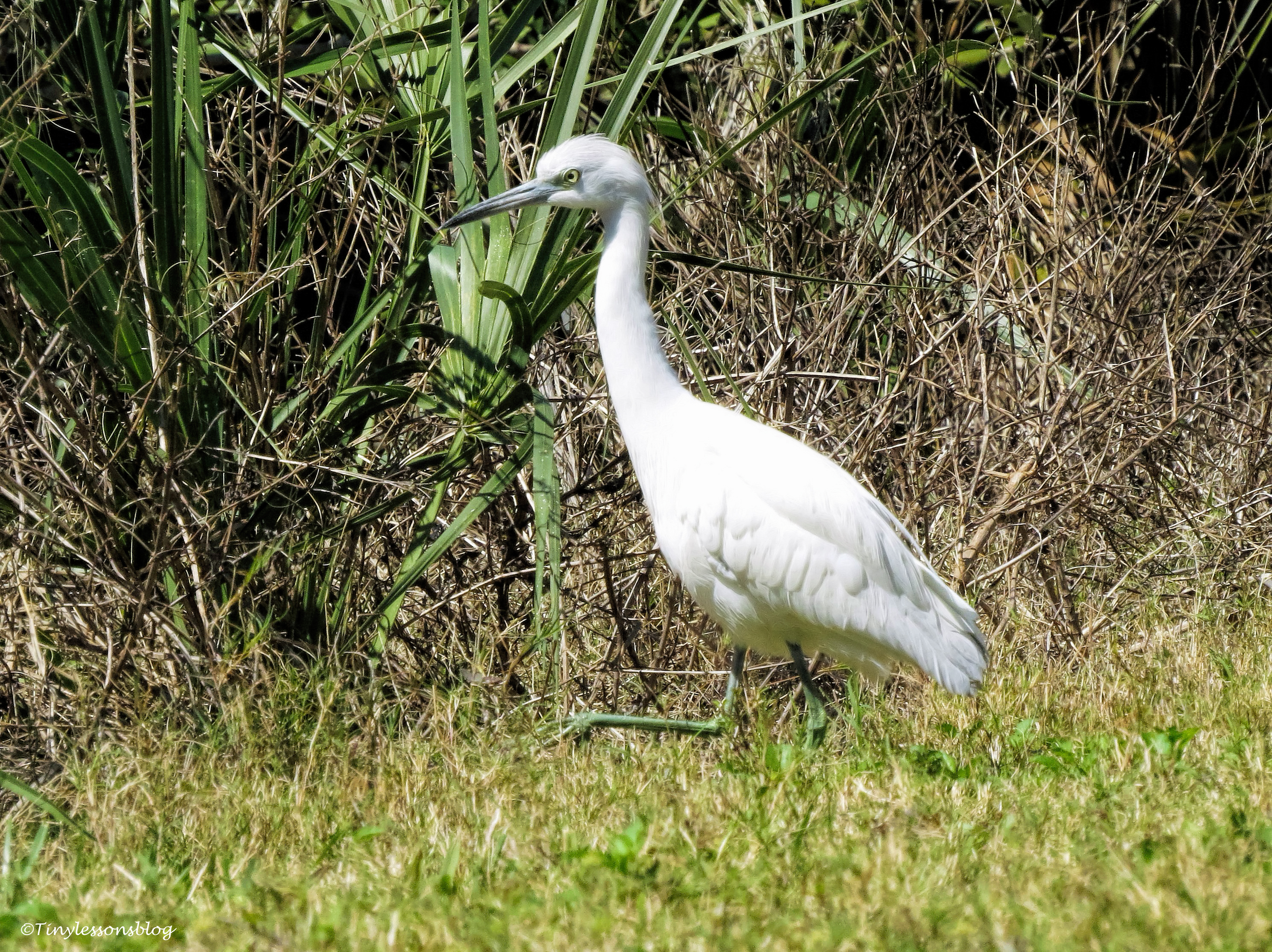 little snowy egret ud49
