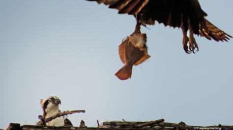 mama osprey flies away with her dinner ud50