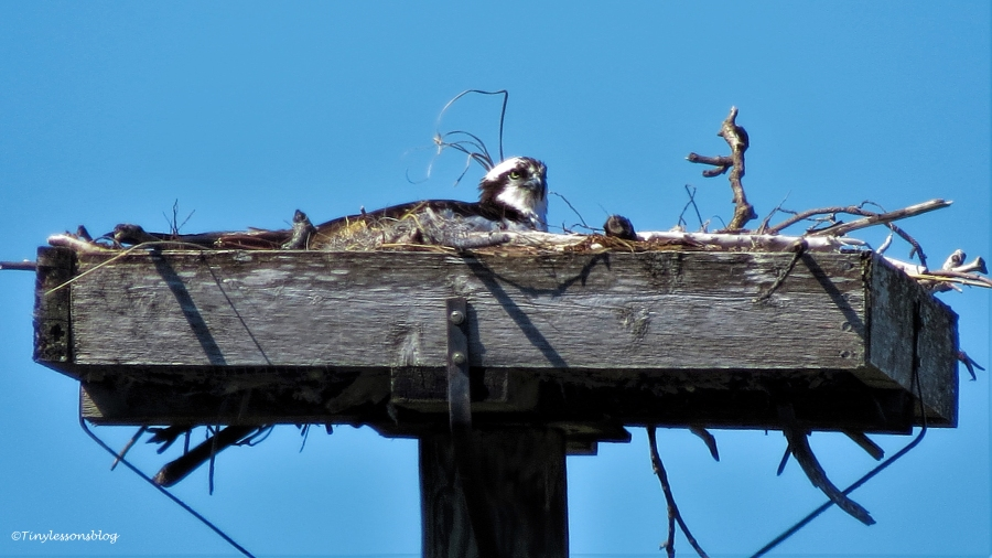 mama osprey incubates ud49