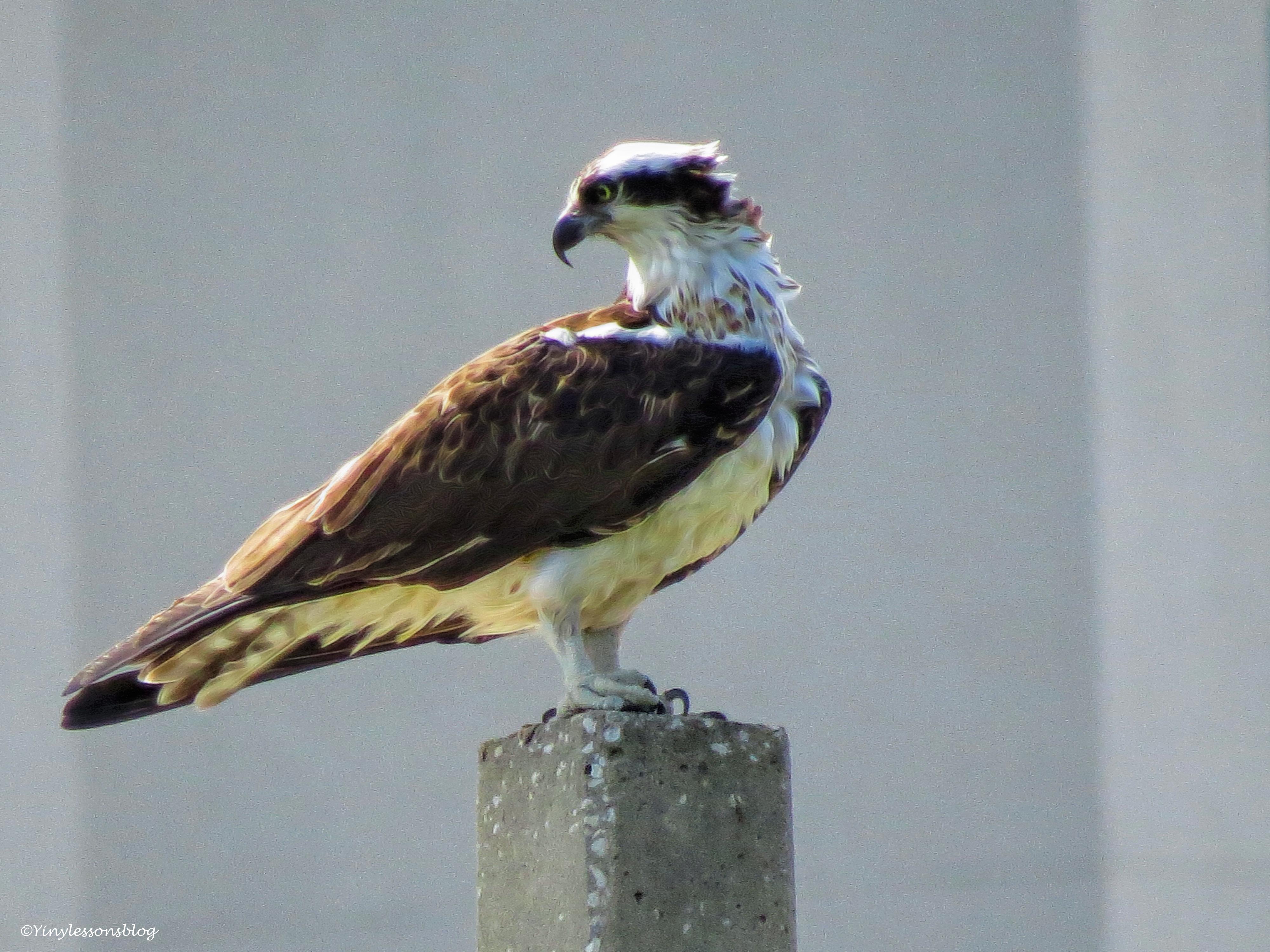mama osprey on her break ud49