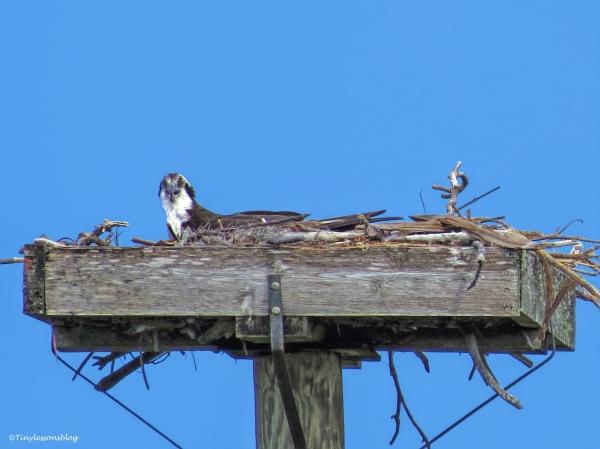 mama osprey ud52