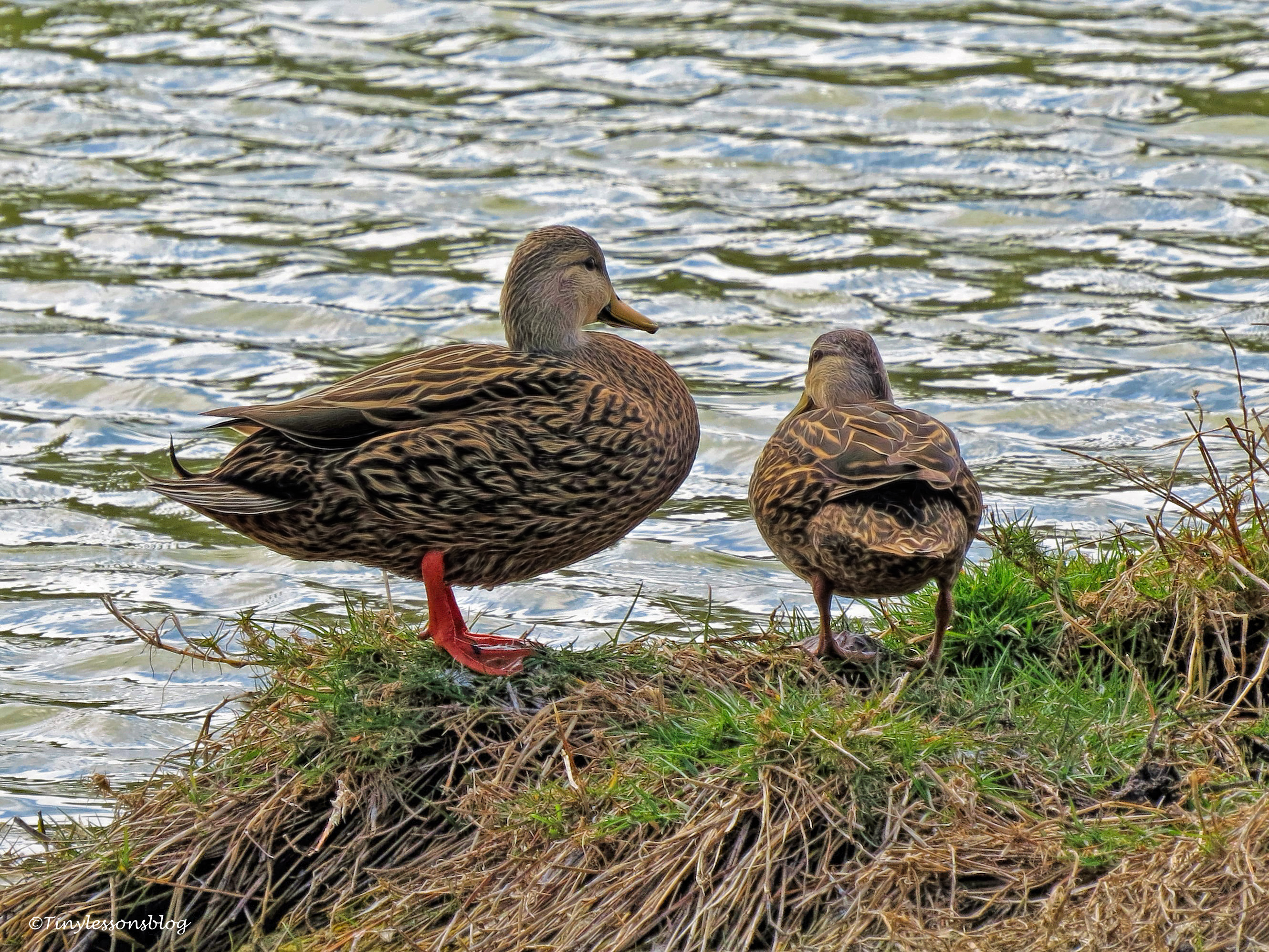 Mottled duck couple ud49