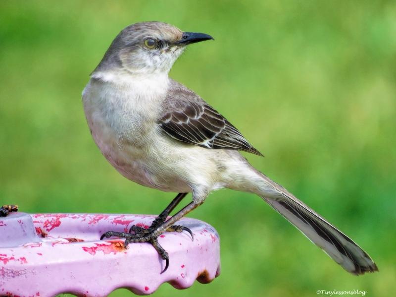 northern mockingbird ud52