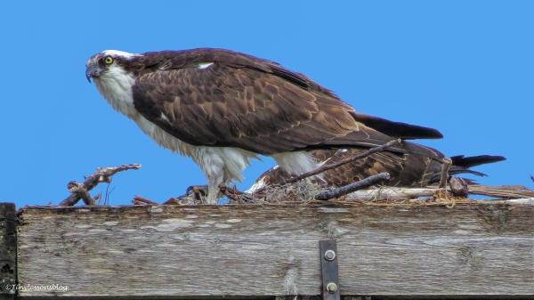 papa and mama osprey 16x9 ud52