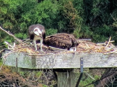 papa and mama osprey feeding the chick ud52