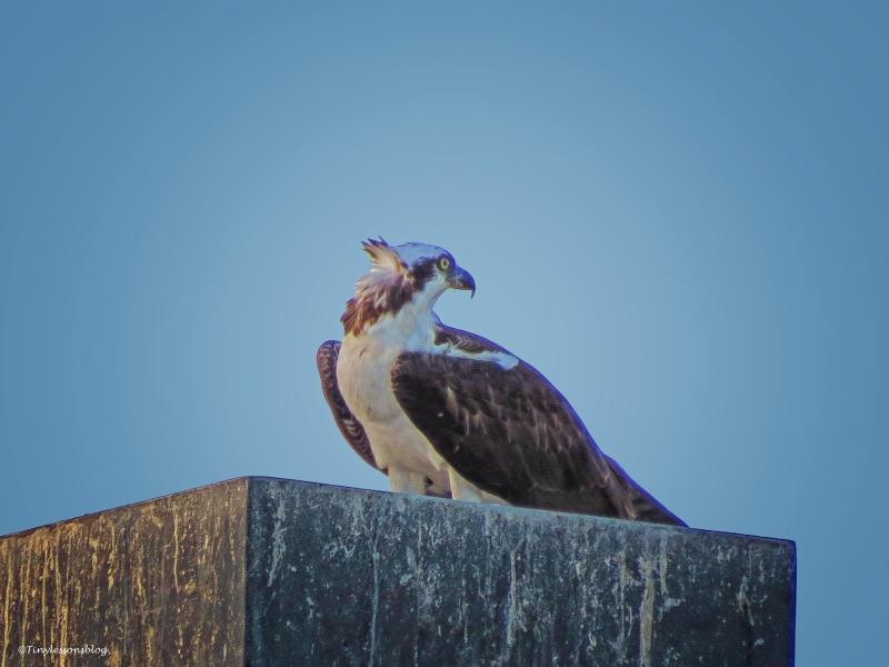 papa osprey eats dinner ud50