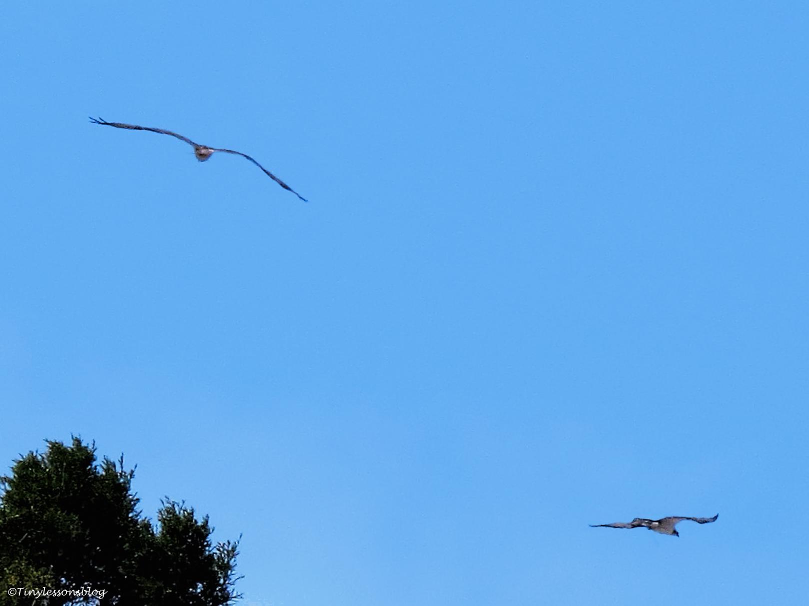 papa osprey gives chase 2 ud49