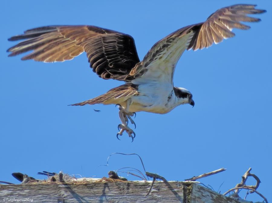 papa osprey leaves ud49