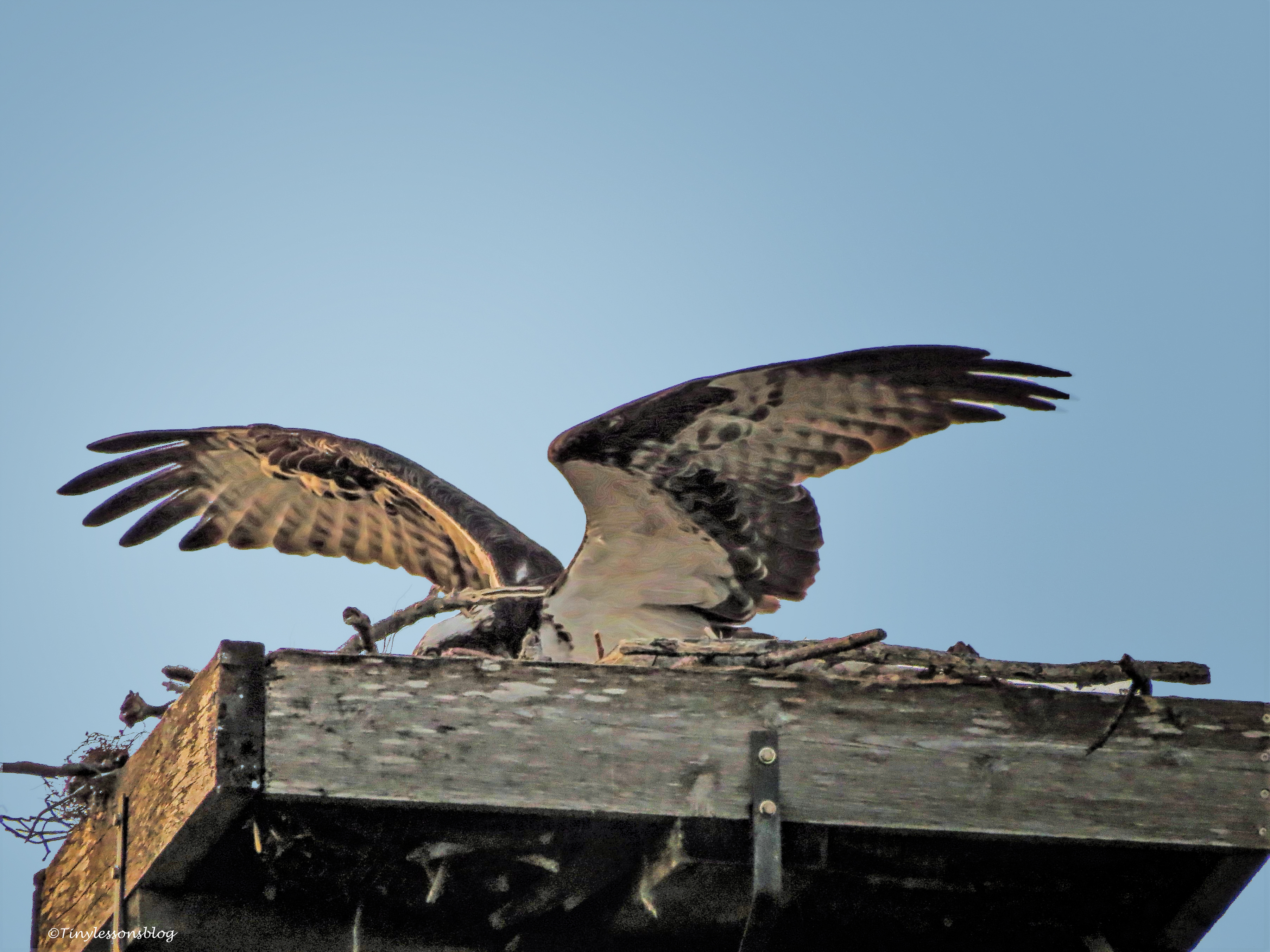 papa osprey sits on the eggs ud50