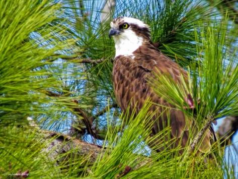papa ospreys new perch ud49