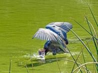 reddish egret diving for fish ud49