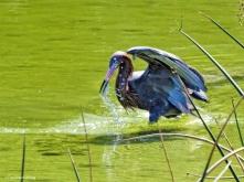 reddish egret fishing ud49