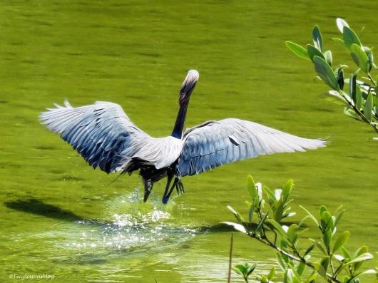 reddish egret jumps ud49