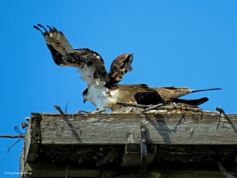 shift change papa osprey leaves ud49