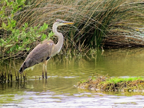 young blue heron ud52