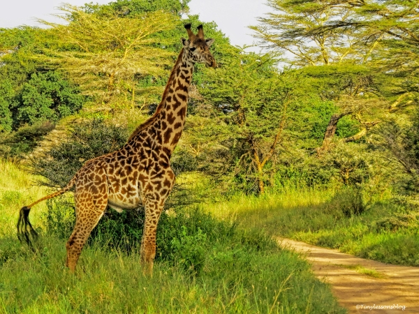 young giraffe 2 ud48