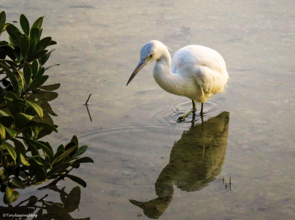 young snowy egret ud50