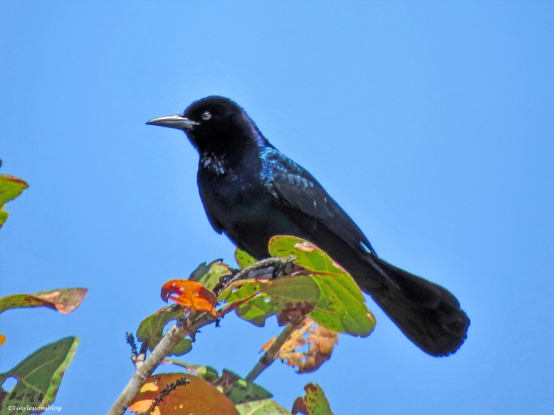 boat-tailed blackbird ud55