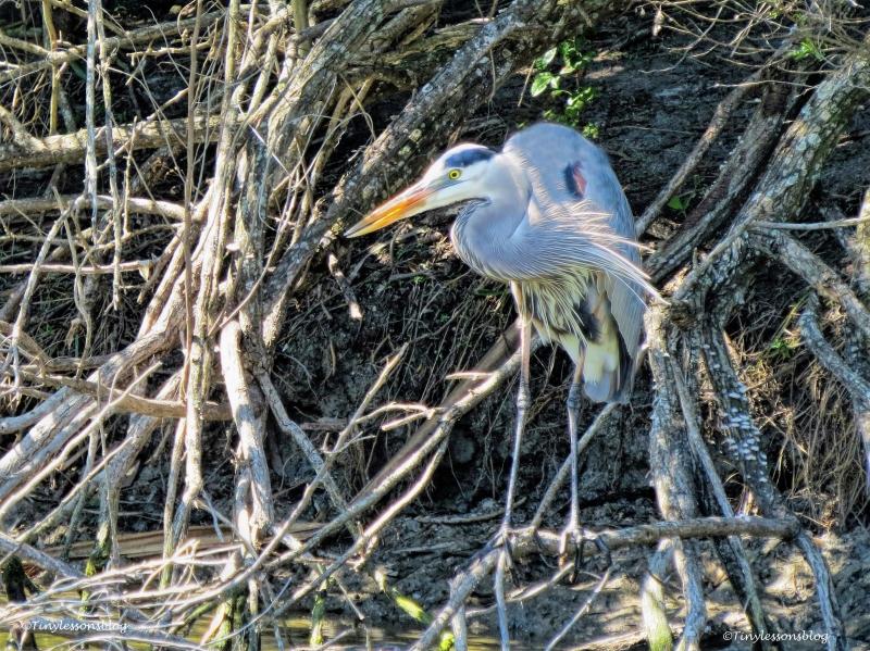great blue heron the mayor ud55