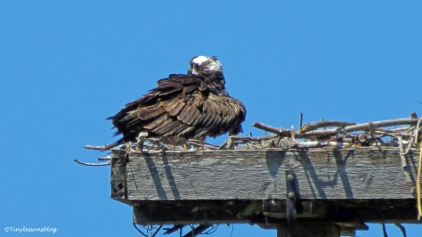 mama osprey and chick 3 ud55