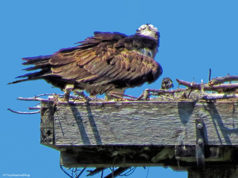 Mama Osprey and chick 4 ud55