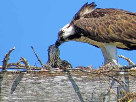 mama osprey and her first chick ud57