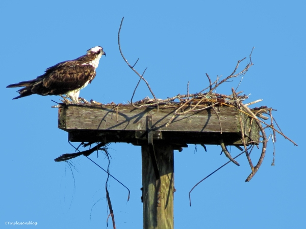 mama osprey at the nest ud57