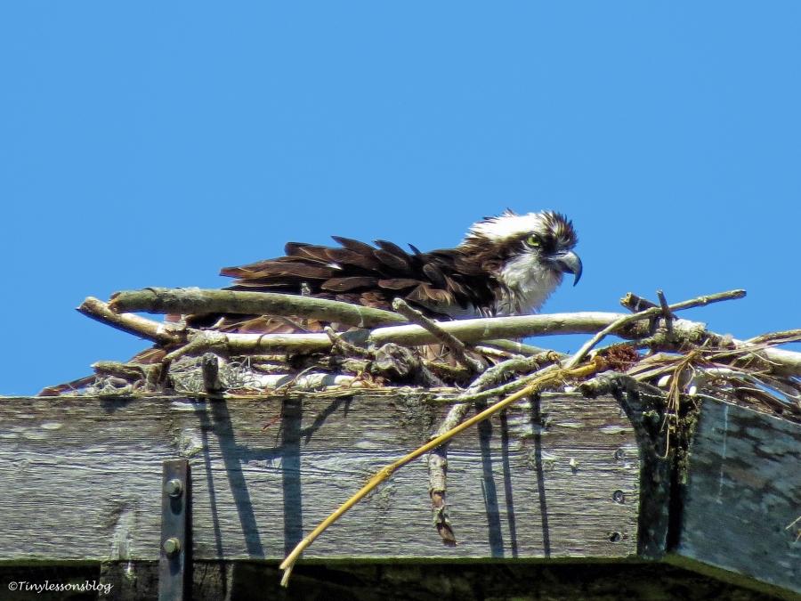 mama osprey UD55