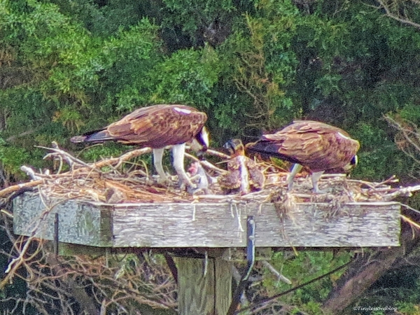mama papa and chick osprey april 16 ud56