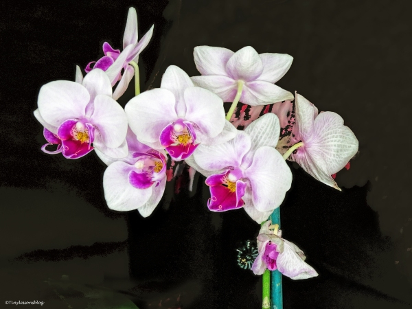 orchid 1 ud56