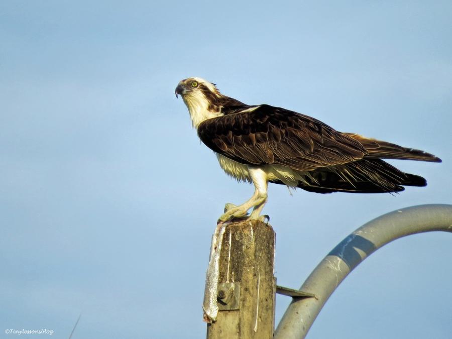 papa osprey at sunset ud56