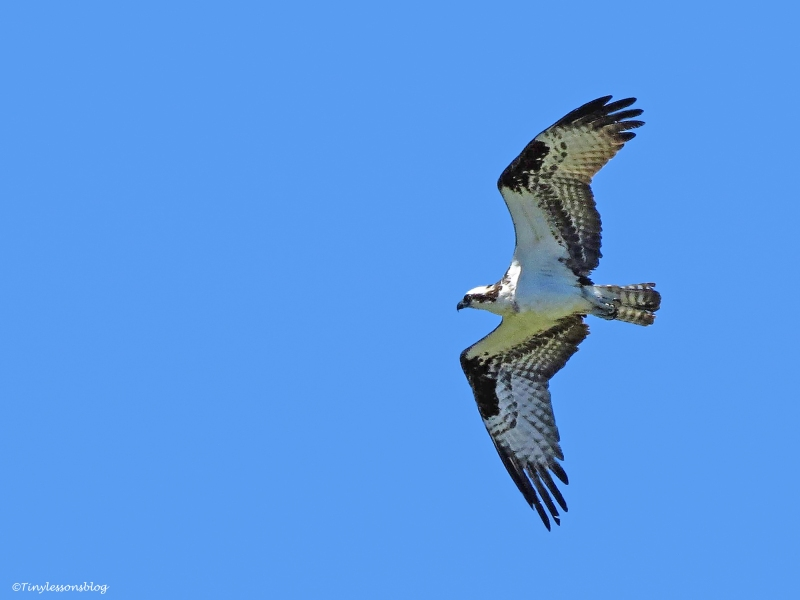 Papa Osprey flies over the marsh ud55