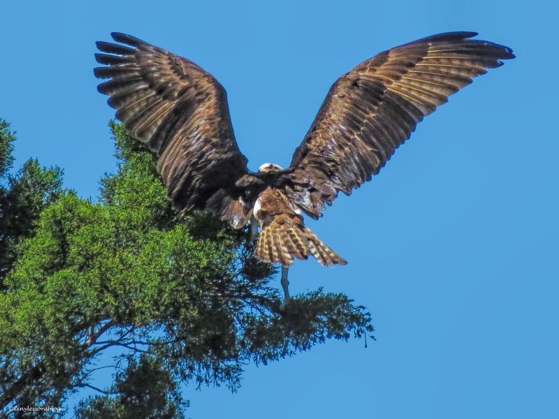 papa osprey lands on a branch ud55