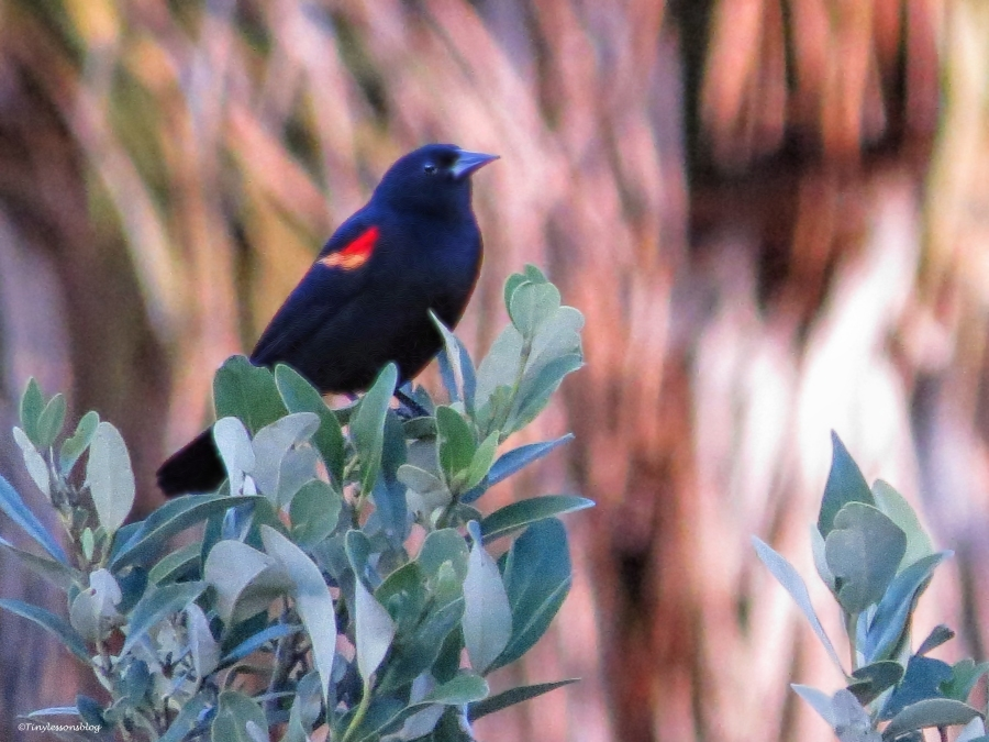red-winged blackbird ud50