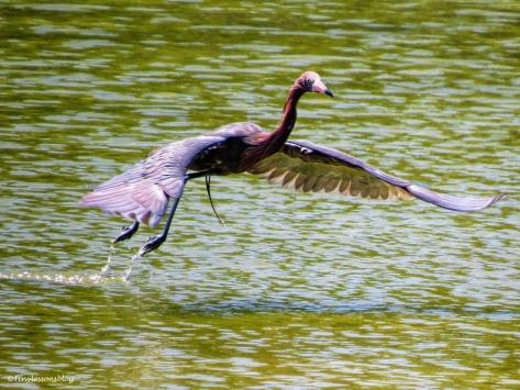 Reddish egret flying ud55