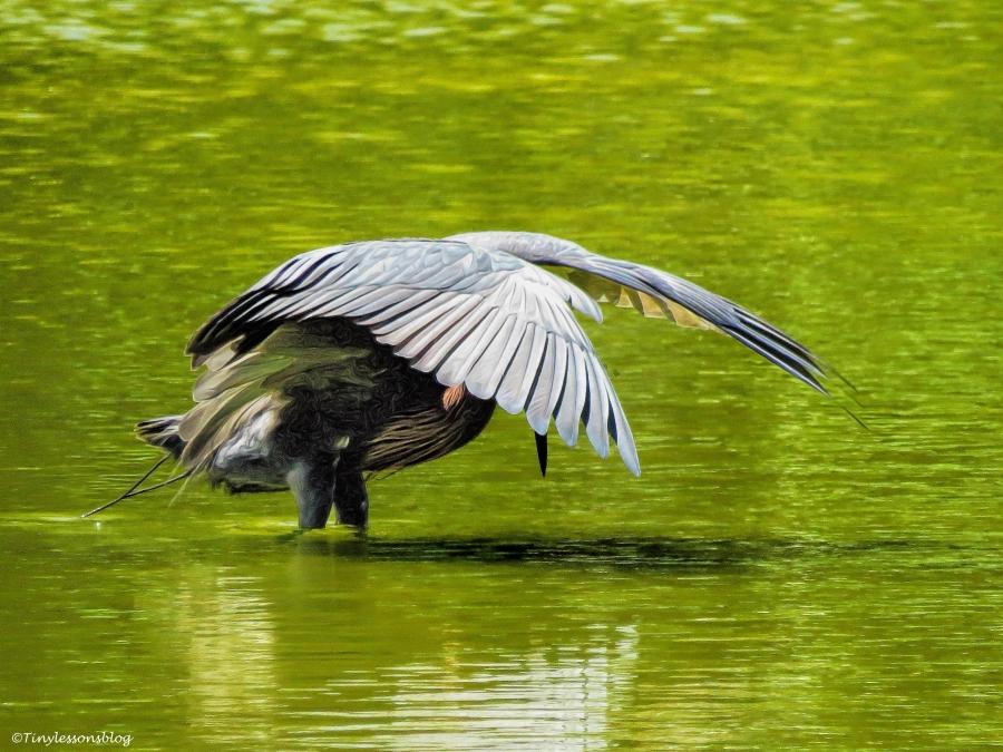 reddish egret hides ud55