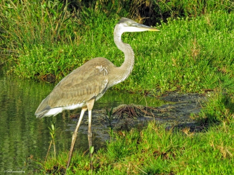 young blue heron ud57