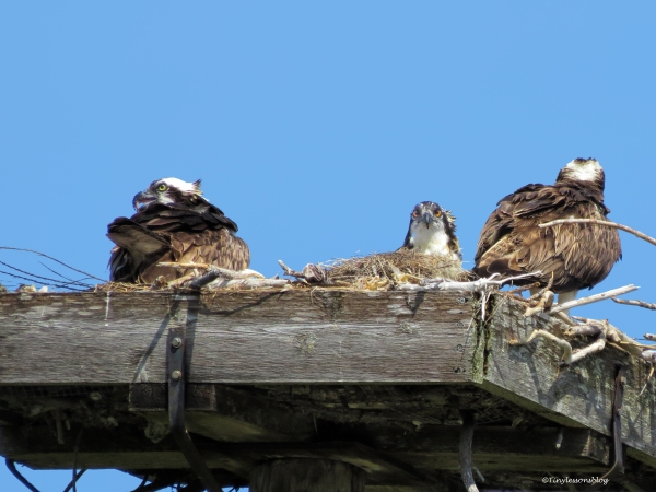 after sunday brunch the osprey family ud61