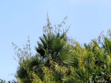 another flowering palm tree ud60
