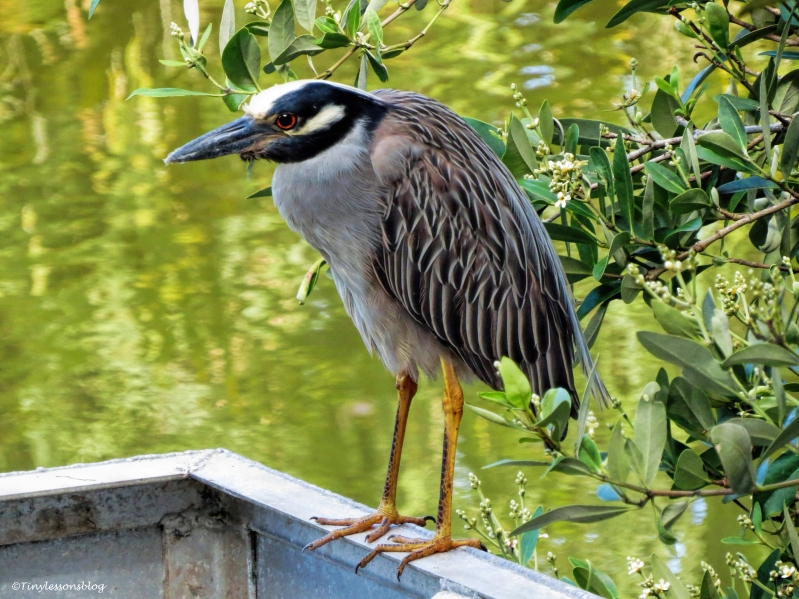 another night heron ud61