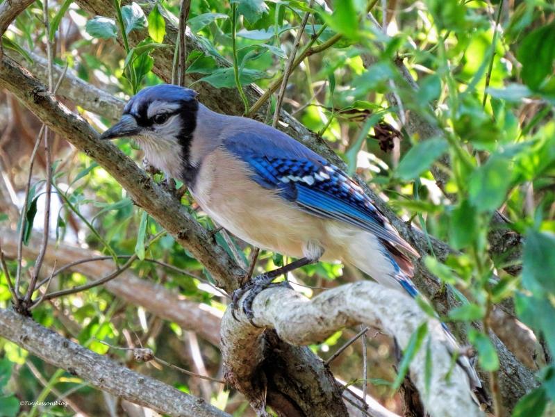 blue jay ud59