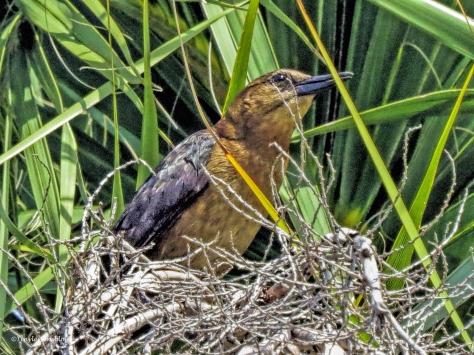brown-headed cowbird ud62