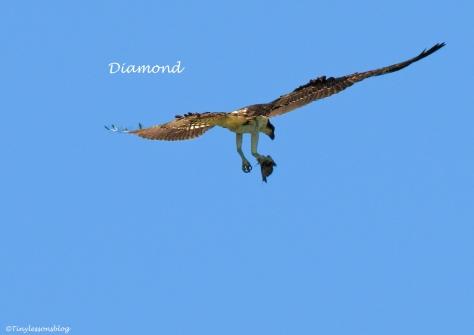 Diamond flying 2014 ud63