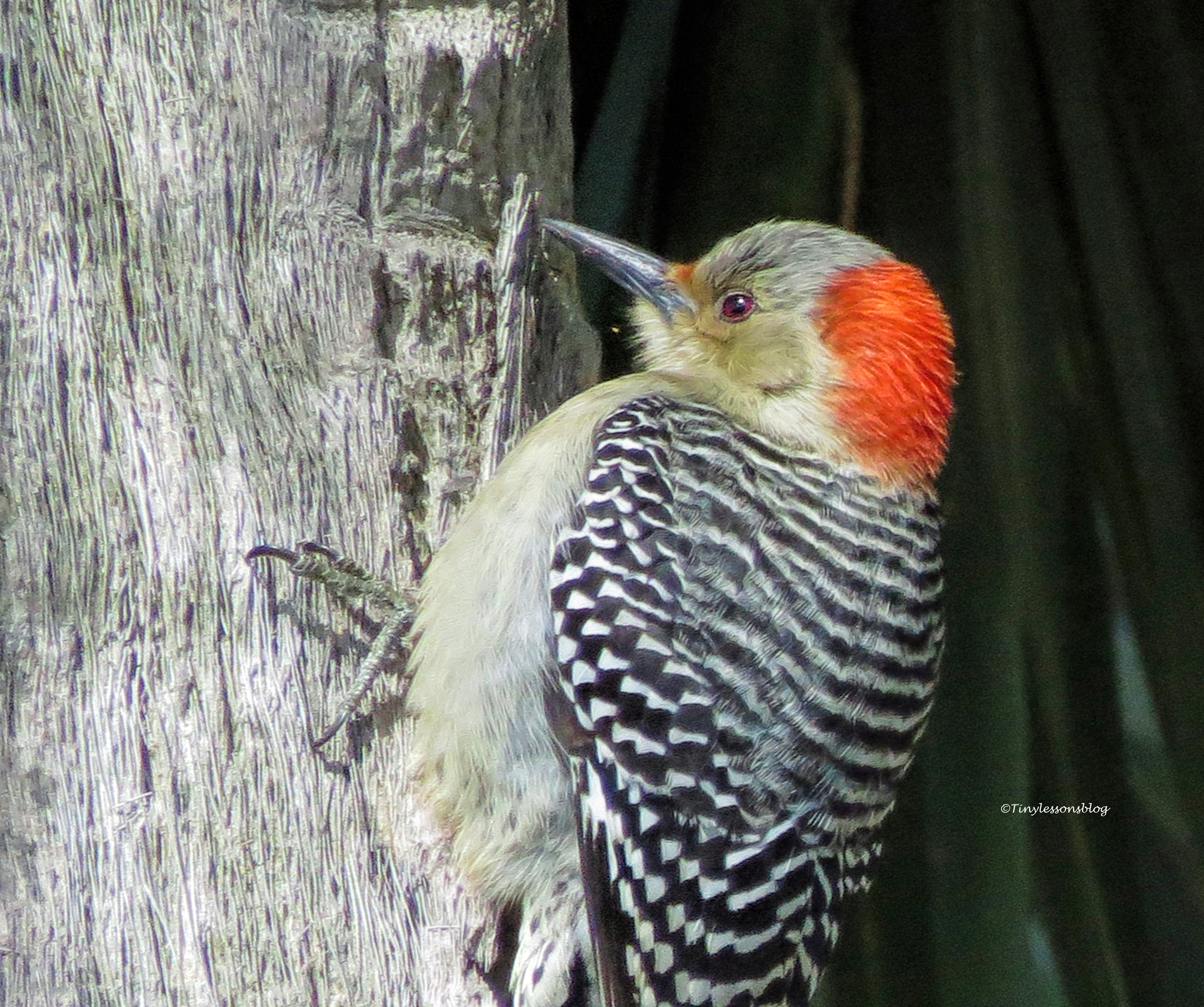 female red-bellied woodpecker FACE