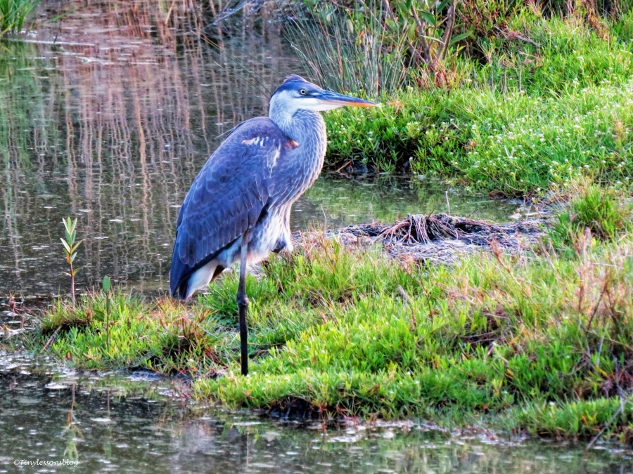 great blue heron mayor ud58