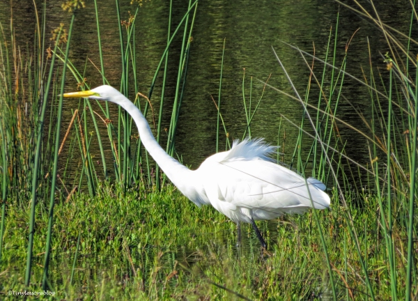 great egret ud59