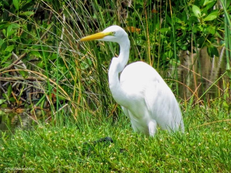 great egret ud61